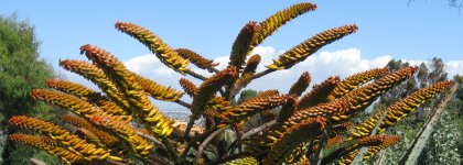 Aloe Ferrox 2021-03-09.jpg
