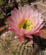 Lobivia flower 02.jpg